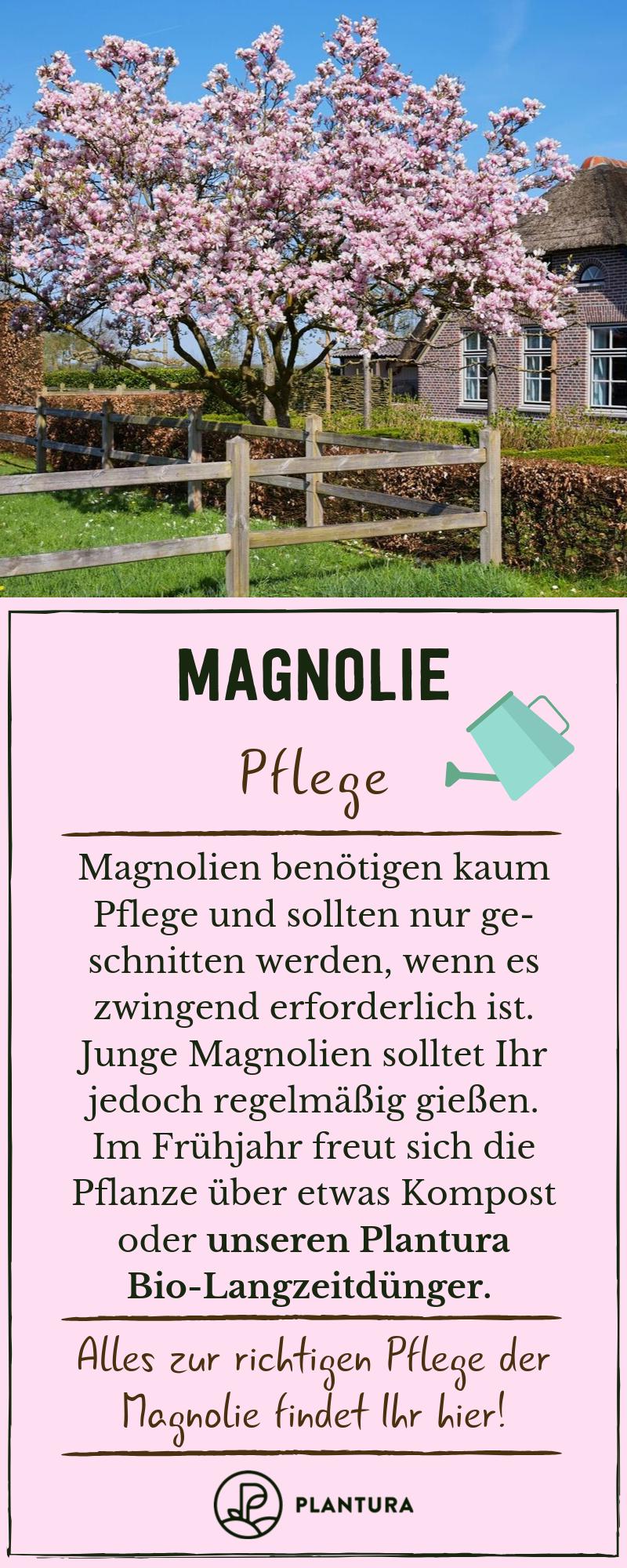 Magnolie: Alles zum Pflanzen, Schneiden & Vermehren des Magnolienbaums - Plantura