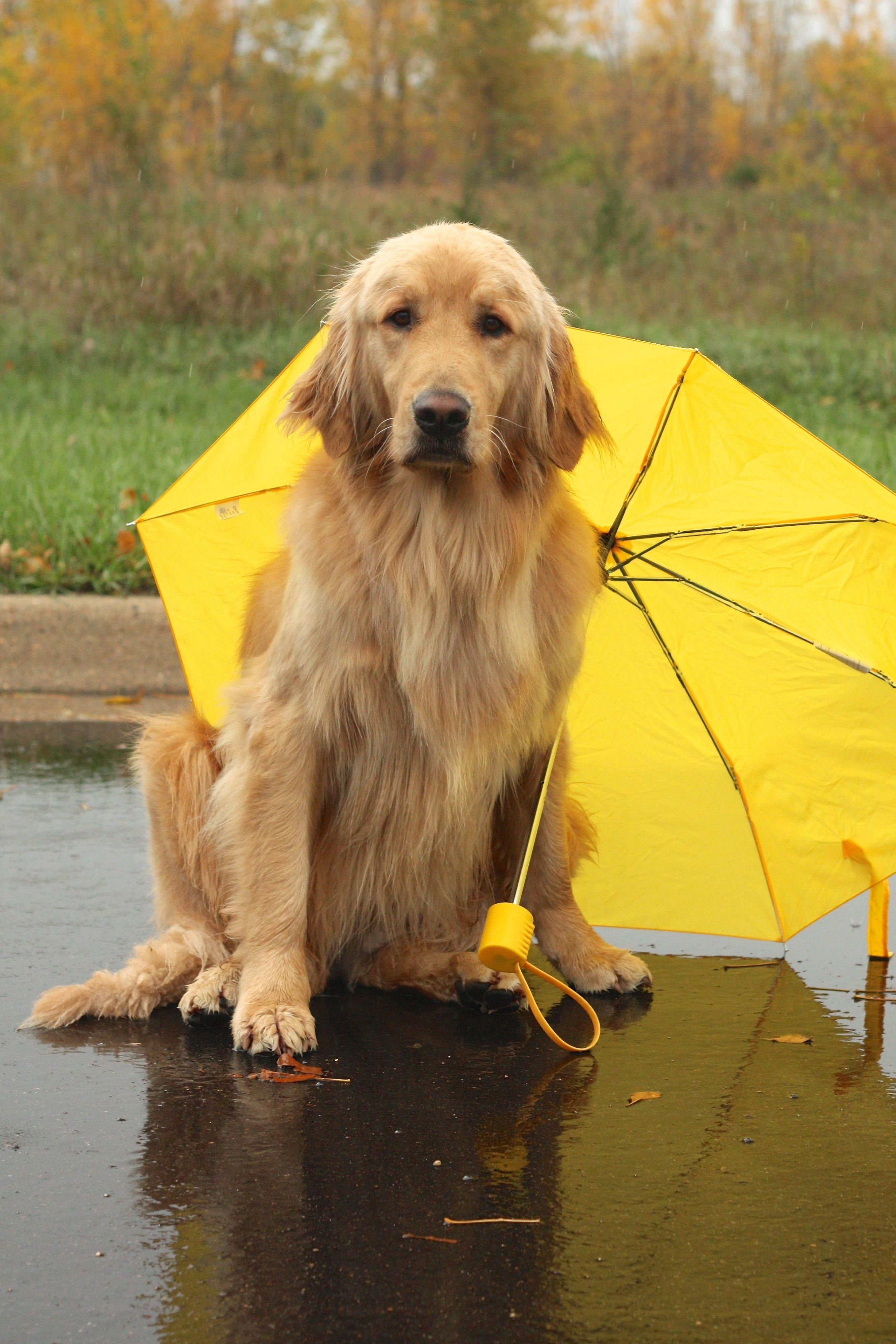 Check Out Our Website For More Details On Golden Pups It Is