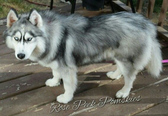 Our Beautiful Siberian Husky Will Be A Pomsky Mom For The First