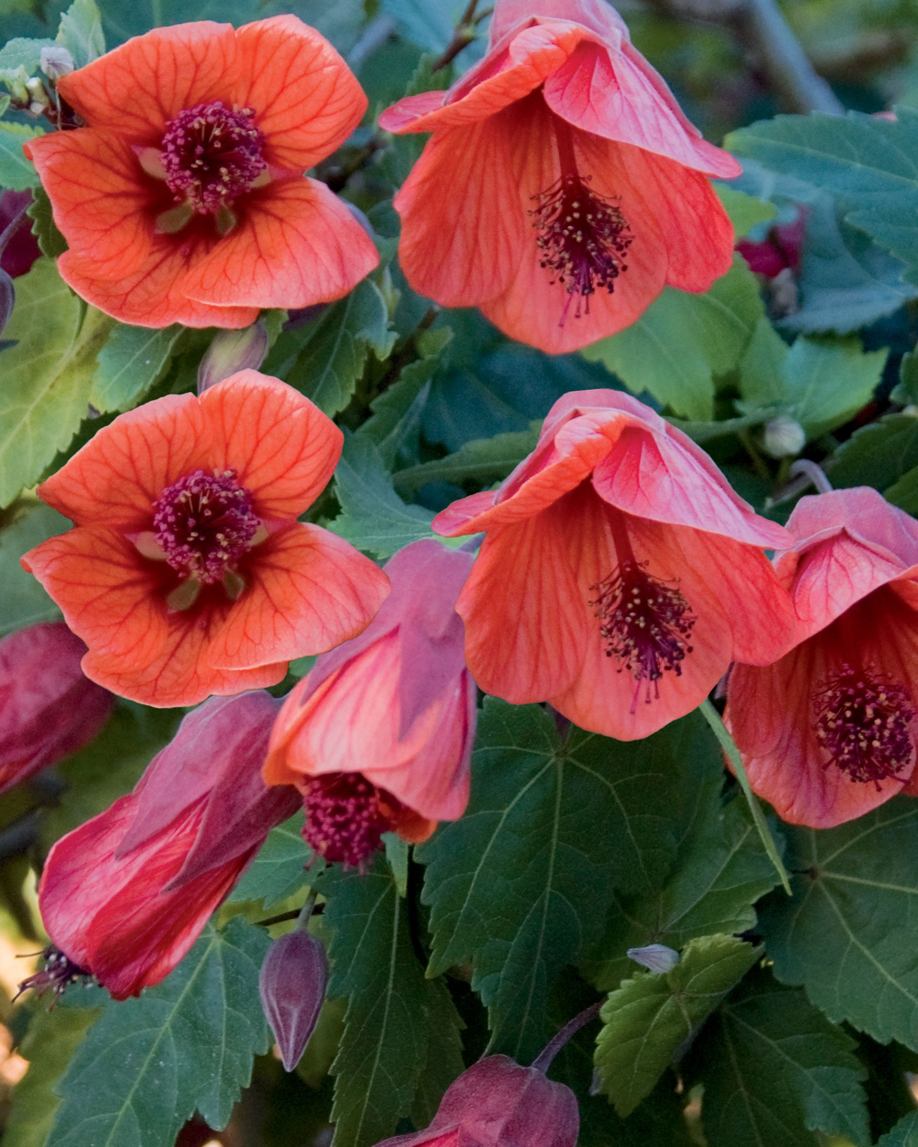 Fairycoralred Floweringmaple Abutilonhybrid Thriller