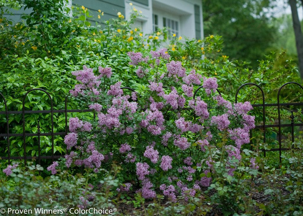 Bloomerang Purple Reblooming Lilac Syringa X Bloomerang Lilac Plants Lilac Bushes
