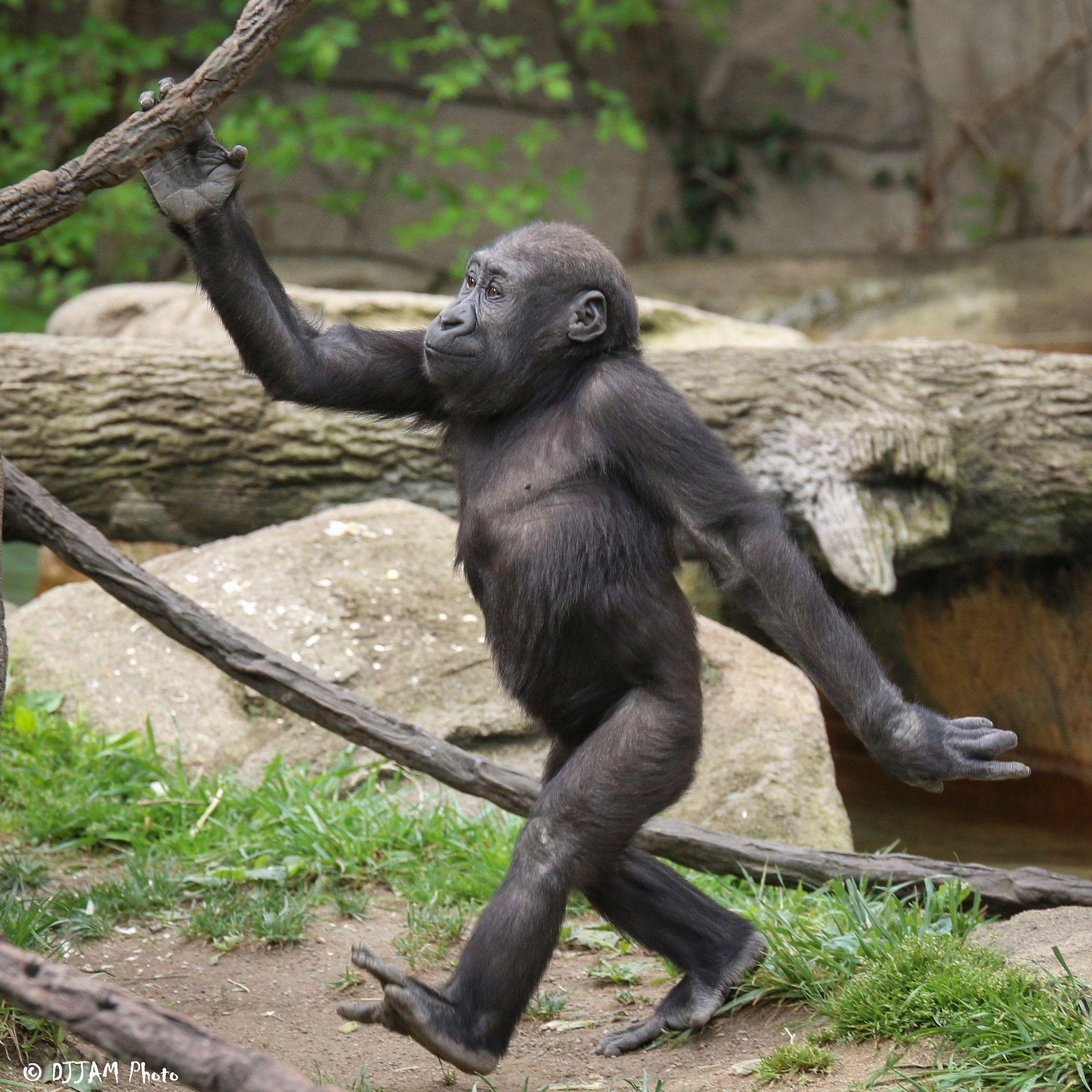Erected chimpanzee penis
