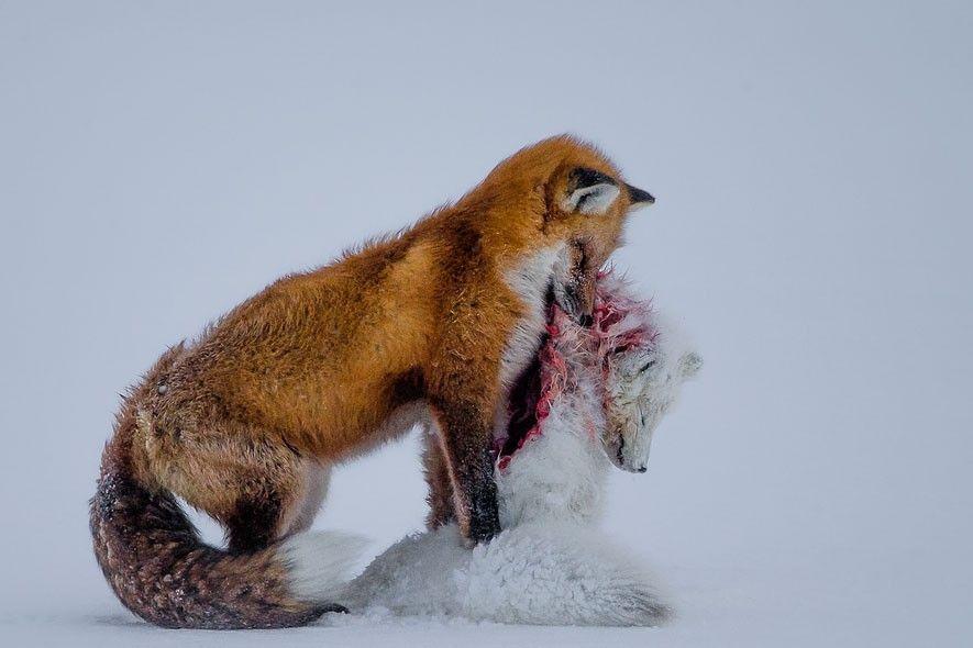 Zwei Füchse - Rotfuchs frisst den kleineren erlegten Polarfuchs.