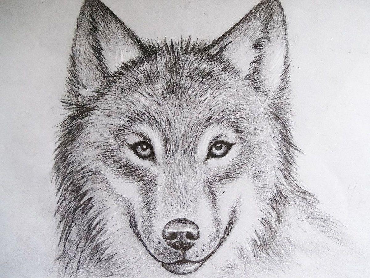 Wolf portrait, pencil drawing
