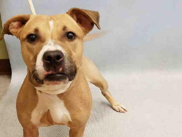 Nala A1090128 Dog Adoption Pitbulls Service Animal