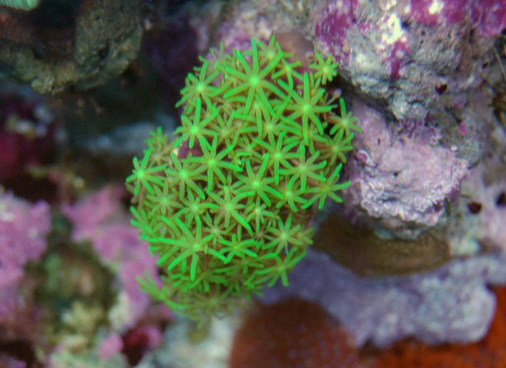 Green star polypgreen star polyp   Salt Water Tank   Pinterest   Aquariums  Salt  . Green Star Polyp Lighting Requirements. Home Design Ideas