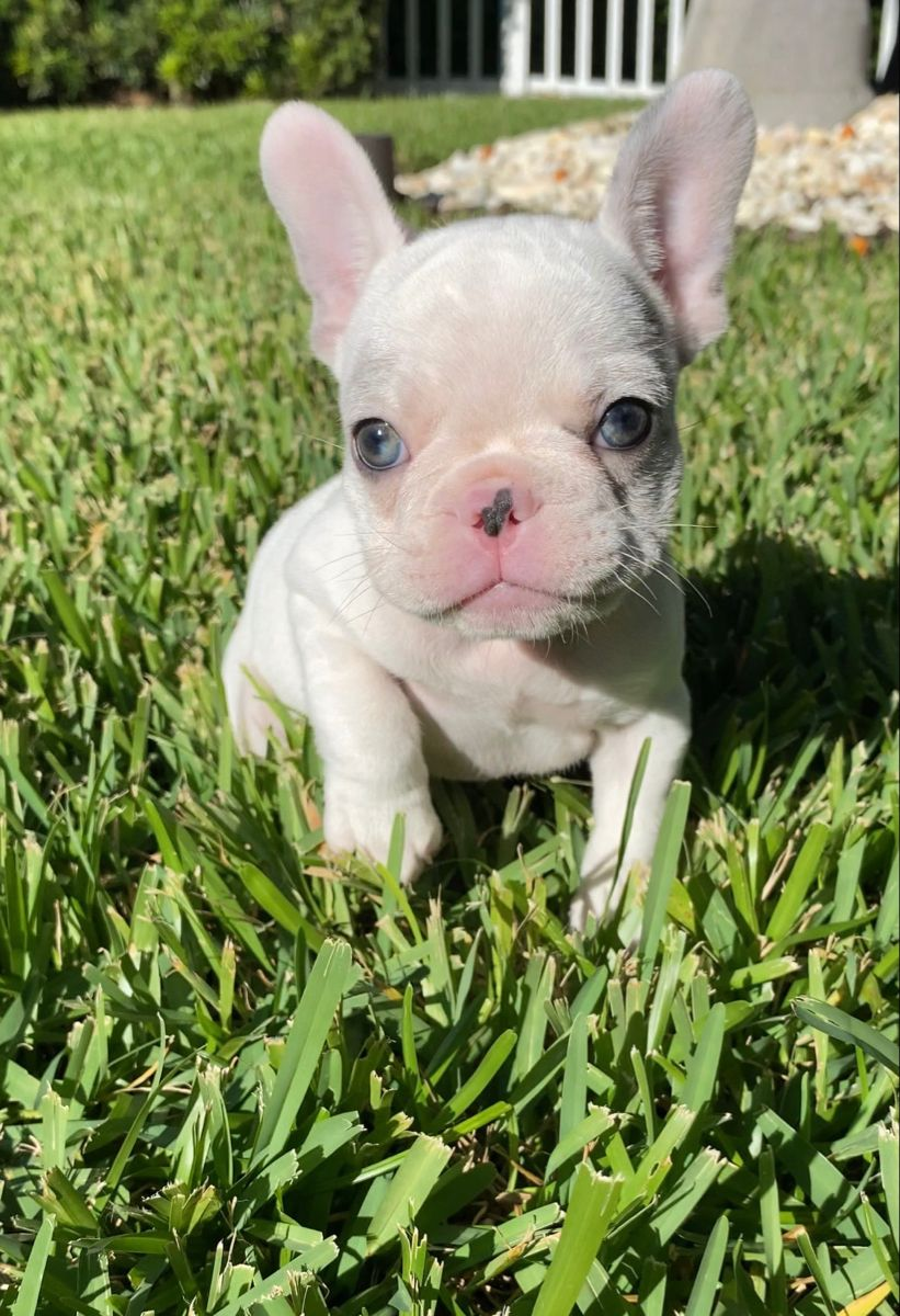 Newt S Silver Coat And Crystal Eyes In The Sun Please Visit Our Site For More Detai Merle French Bulldog Cute Baby Animals French Bulldog Puppies French bulldog pet friend dog green