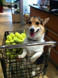Resultado de imagen para corgi with tons of balls