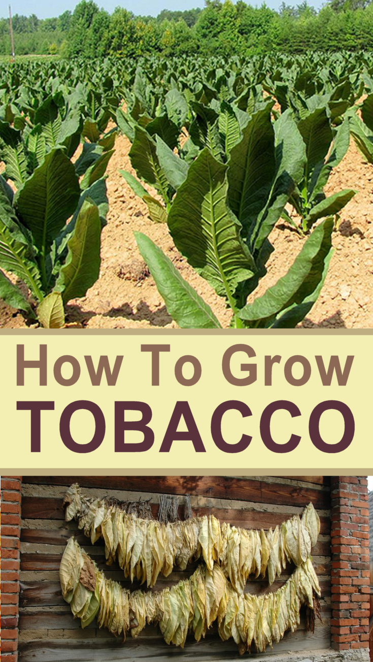 How to Grow Tobacco