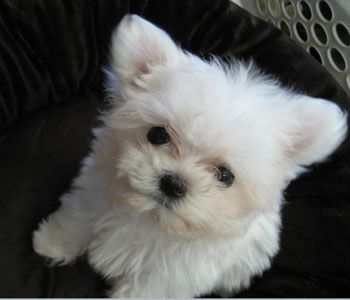 Wally Maltese Puppy Puppies Cute Animals Toy Dog Breeds