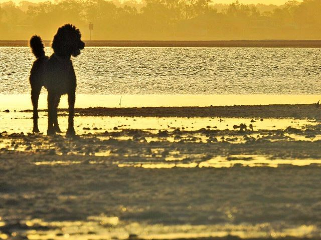 Poodle Standardpoodle Afternoon Beach Stretch Water Run Sunset Sunset Photo Instagram Photo