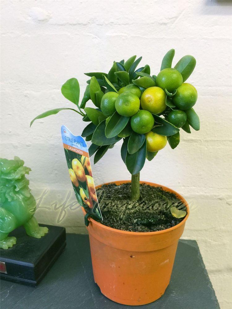 1 Dwarf Standing Calamondin Citrus Orange Fruit Tree Indoor Plant In Pot Indoor Fruit Trees Citrus Tree Indoor Potted Fruit Trees