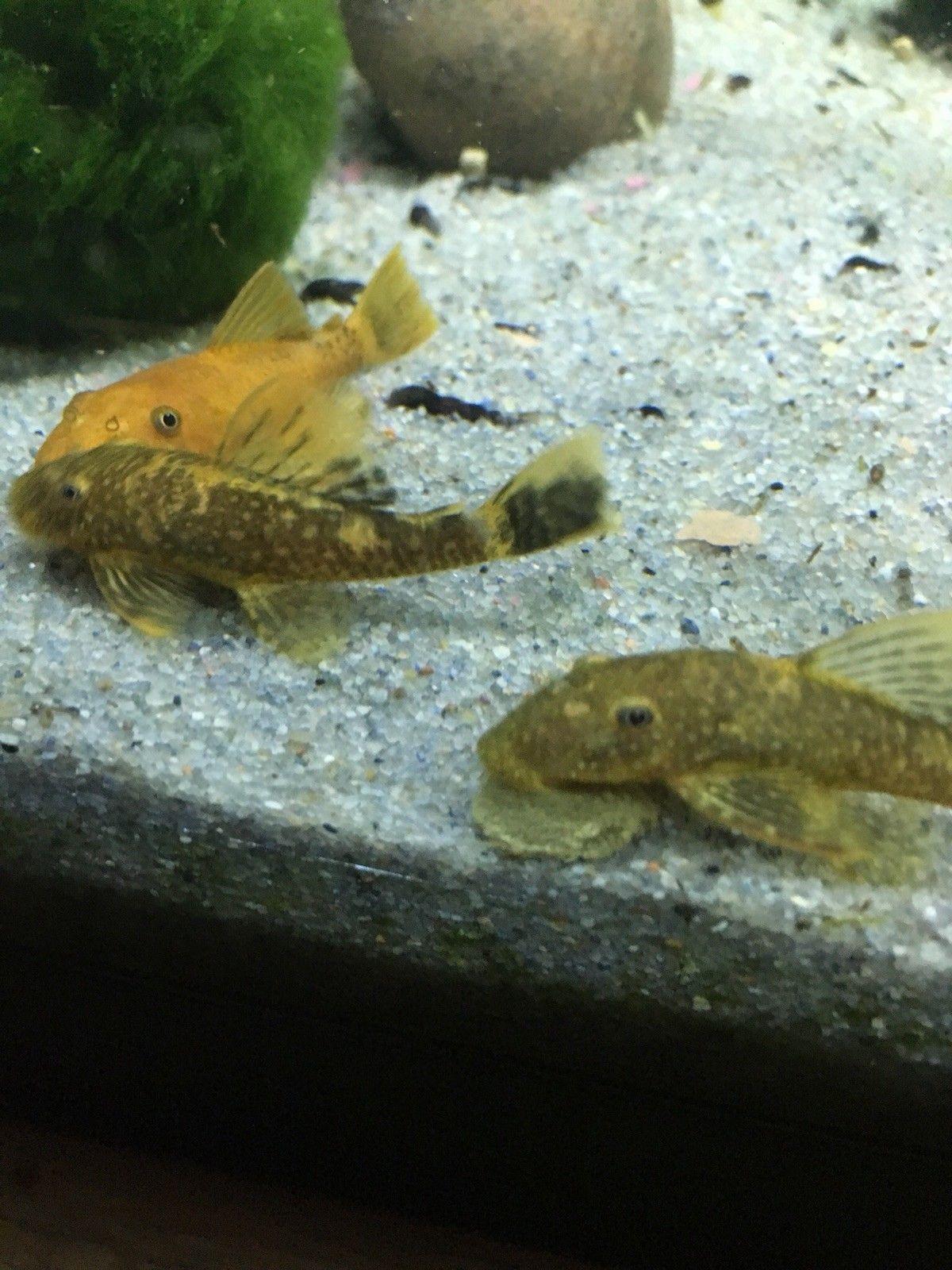 Calico Red Mix Bristlenose Pleco Fish Ancistrus Plecostomus Catfish Pleco Fish