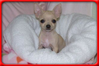 Chihuahua Co Za Chihuahuas South Africa Is The Main Chihuahua