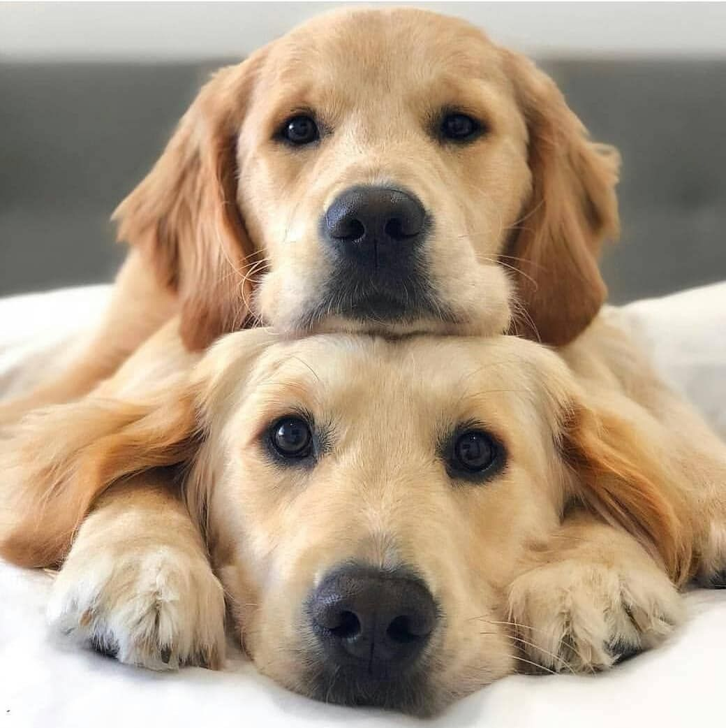 When They Stare At You It S Okay To Feel Weak Goldens Dogs