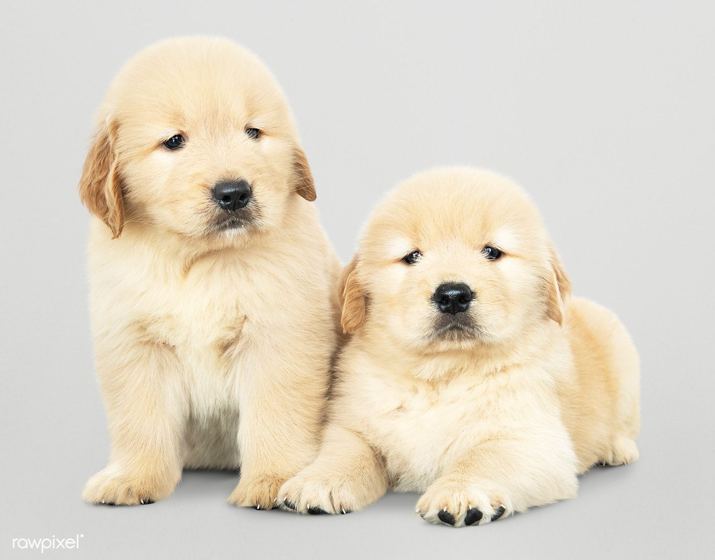 Download Premium Psd Of Two Adorable Golden Retriever Puppies 542214 Golden Retriever Retriever Puppy Puppies