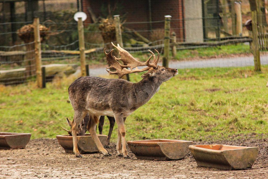 Fallow Deer 5 by landkeks-stock on DeviantArt | Animal References ...