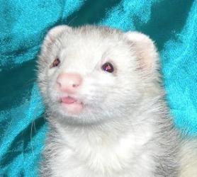 Adopt Mason On Cute Animals Ferret Animals