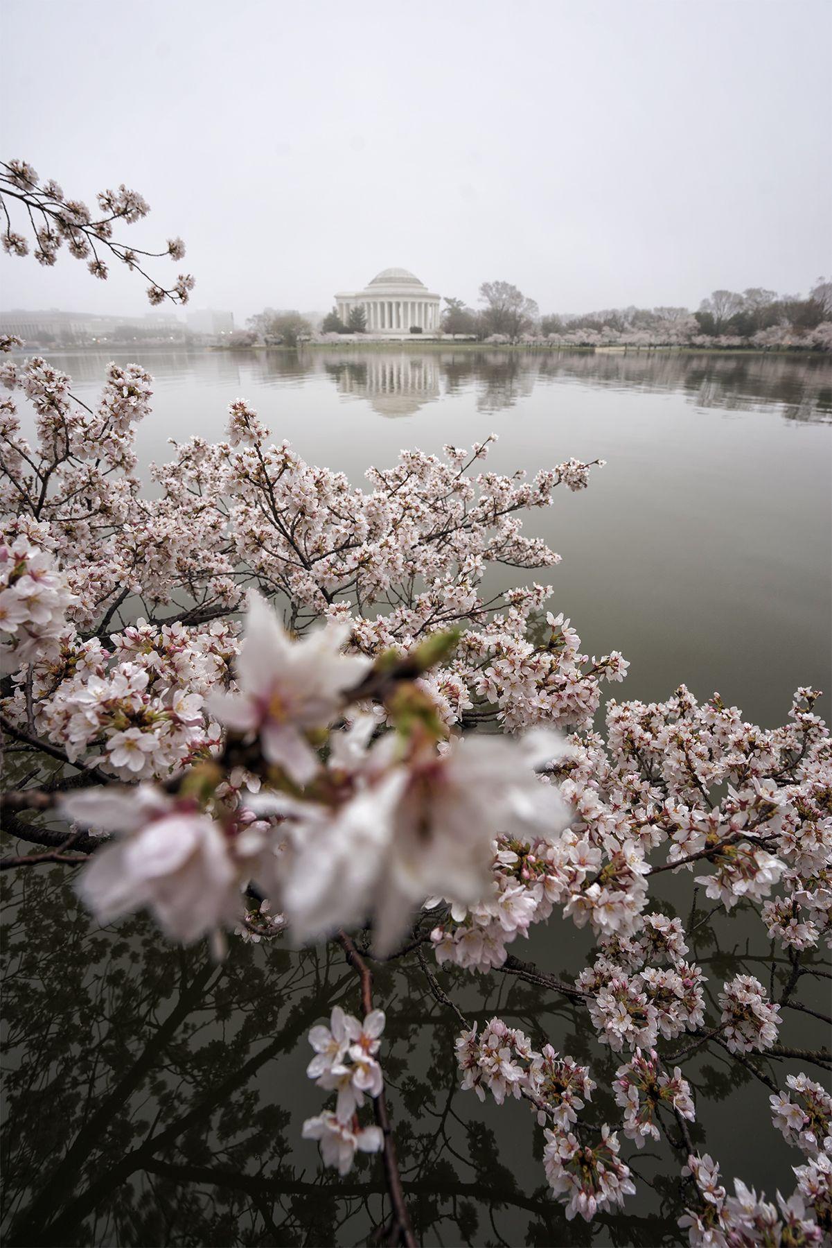 Tidal Basin Cherry Blossoms Fog National Mall Washington Dc Cherry Blossom Tree Jefferson Memorial Cherry Blossom Cherry Blossom Tree Cherry Blossom Dc