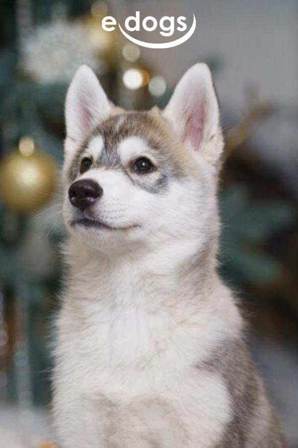 Schau In Diese Traumhaften Huskyaugen Husky Siberianhusky
