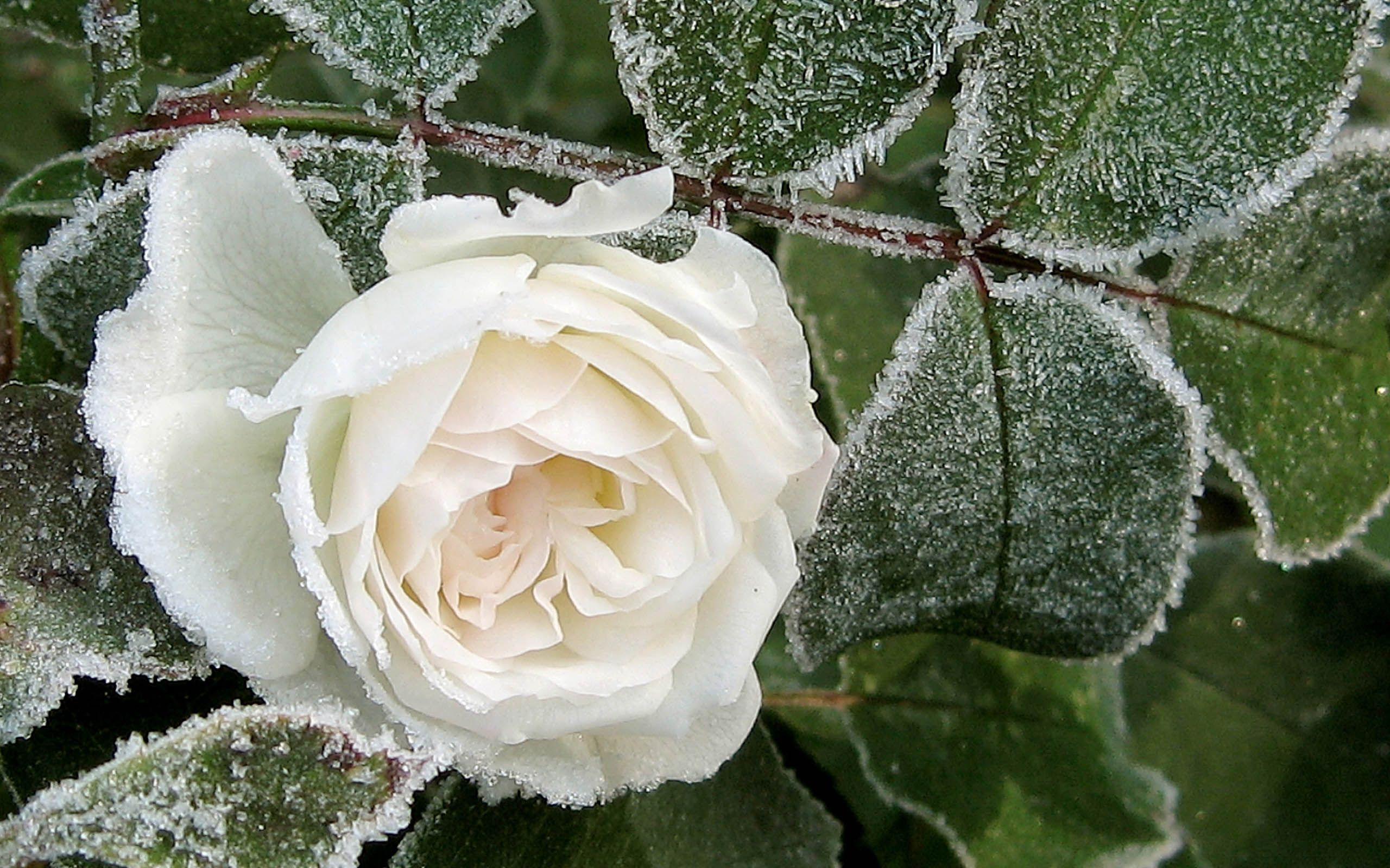 Frost Flower Flowers Rose