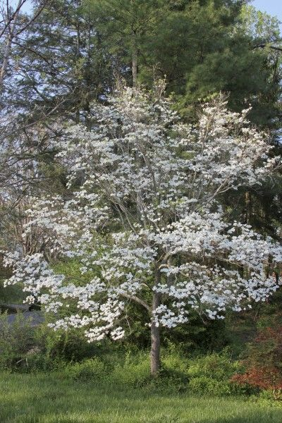 dogwood tree food when and how to fertilize dogwoods