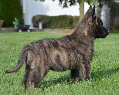 Dutch Shepherd Puppies For Sale At Cher Car Kennels Dutch Shepherd Dog Dutch Shepherd Puppy Malinois Dog