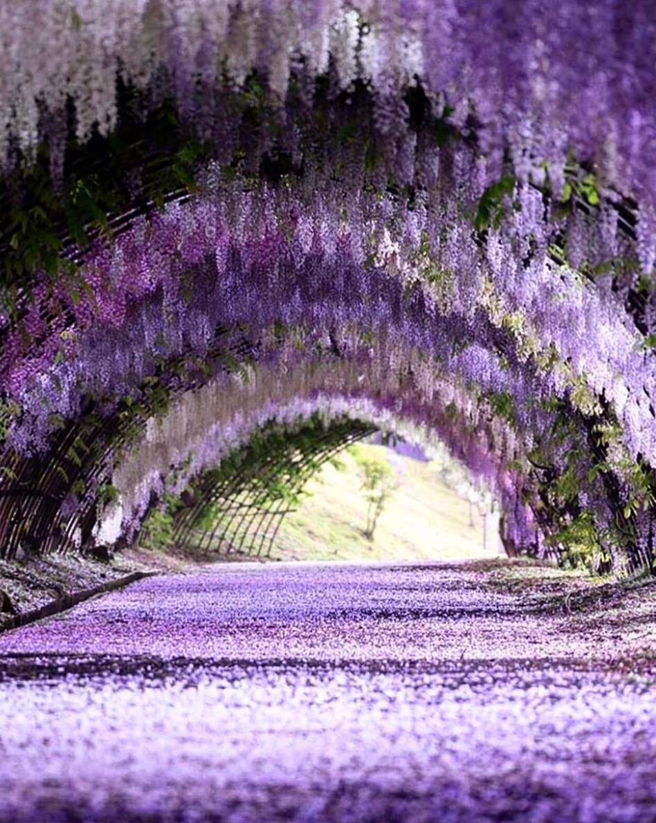 5 Places In Japan To Visit For A Breathtaking Experience Of Wisteria Flowers April May 2019 Mothership Sg News Fro In 2020 Wisteria Garden Wisteria Wisteria Tunnel