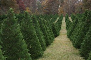 Christmas Trees Georgia Faces Uga Leyland Cypress Trees Georgia Christmas Christmas Tree Farm