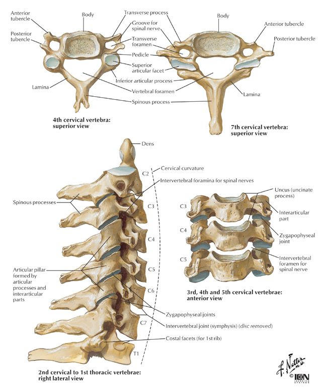 Cervical Spine Naver Blog Anatomy Medicine Pinterest