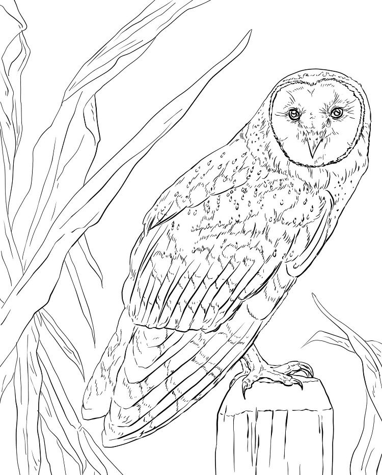 Barn Owl Coloring Pages Printable Owl Coloring Pages Owl