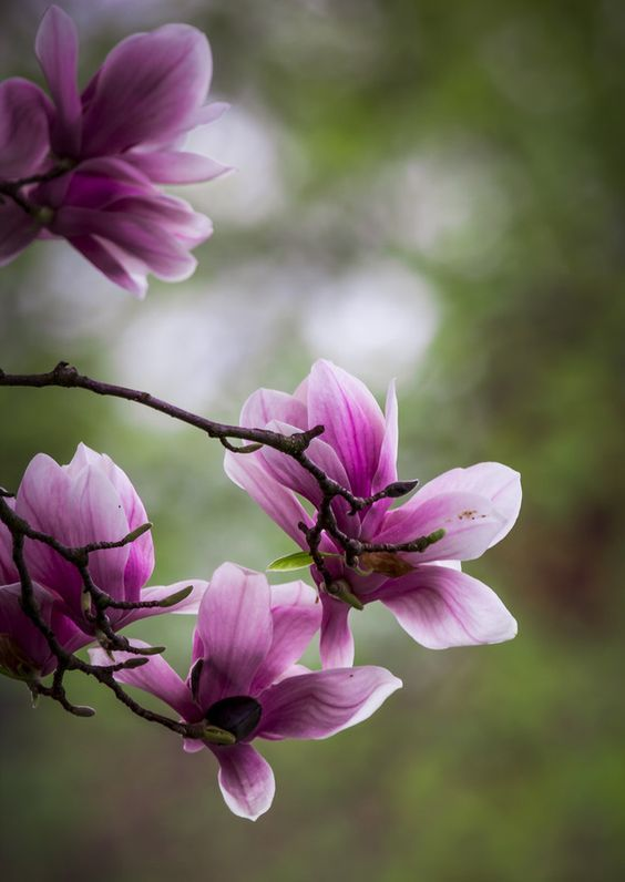 pin von auf pinterest blumen magnolien und rosen. Black Bedroom Furniture Sets. Home Design Ideas