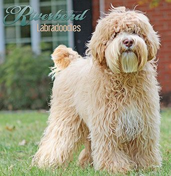 Upcoming Litters - Riverbend Labradoodles