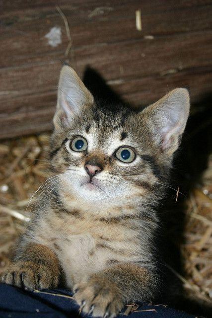 Barn Kitty 9142 Animal Lover Kitty Cute Cats