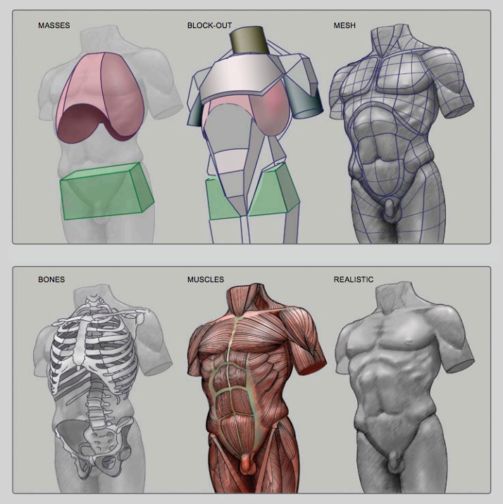 Male Torso from Anatomy for Sculptors | TOPOLOGY | Pinterest | Escultura