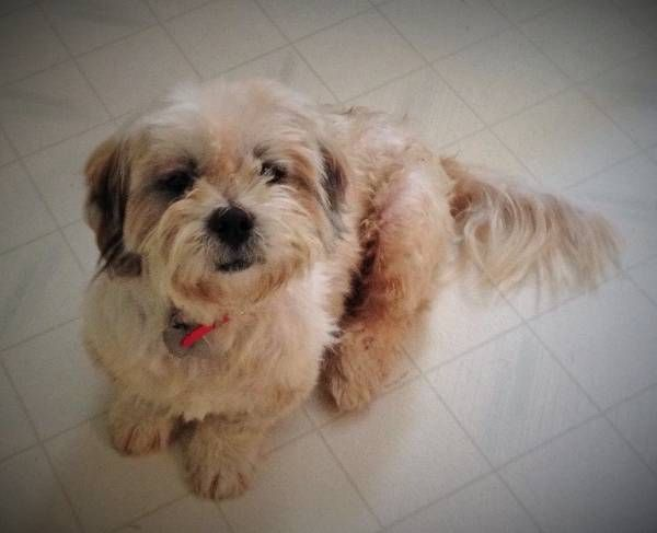 Lost Dog Lhasa Apso In San Antonio Tx Reward 300 00 Pet Name