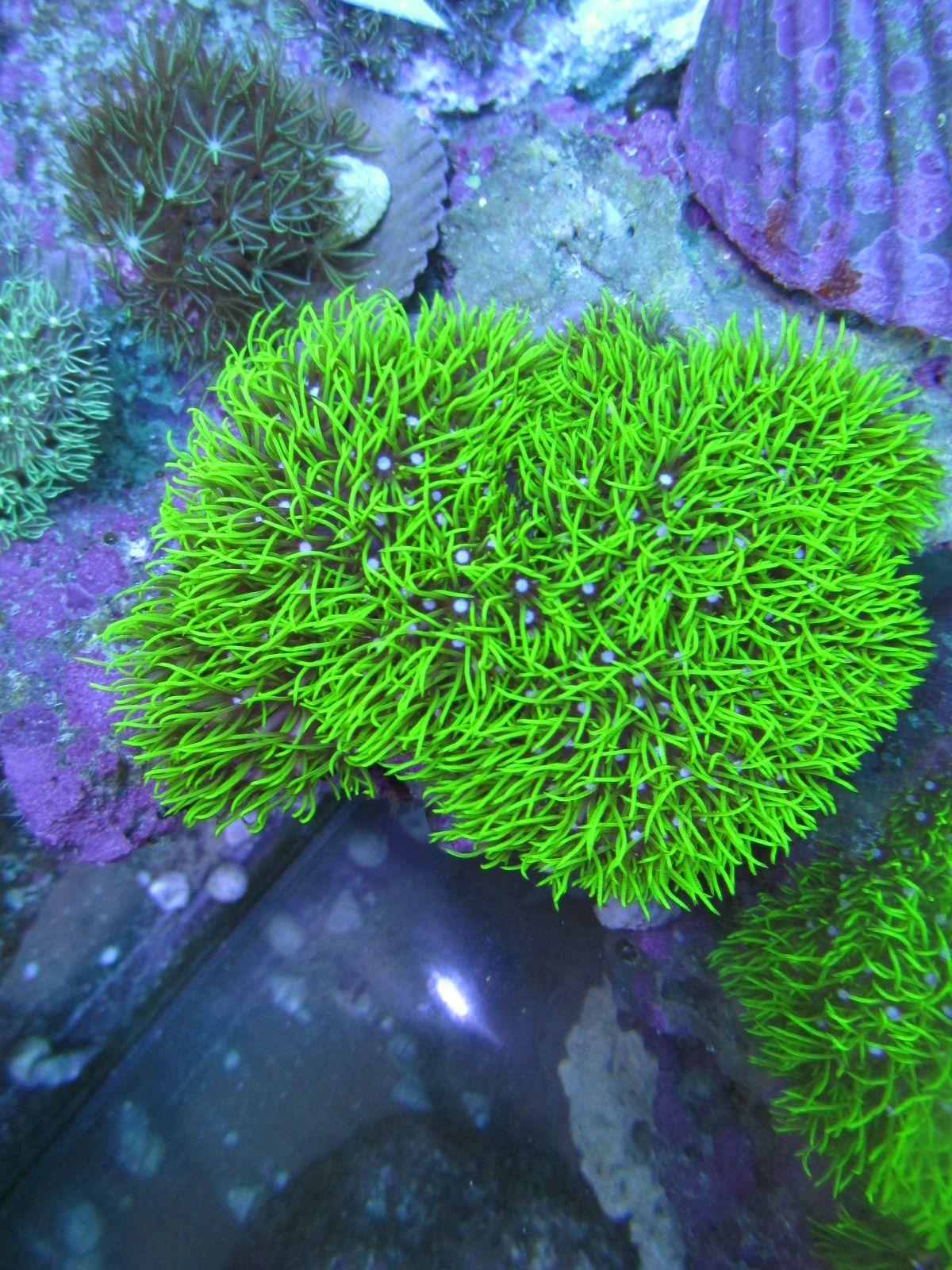 Pachyclavularia Violacea Green Star Polyp Saltwater Tank Marine Tank Reef Aquarium