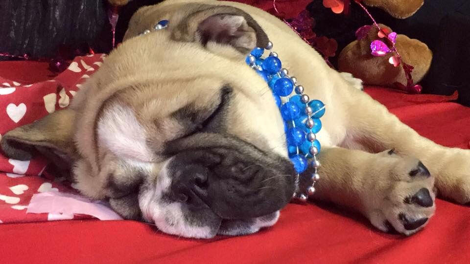 Oz is available!!!! Call/text 606-524-5758  pottersbulldogs.net @pottersbulldogs on instagram