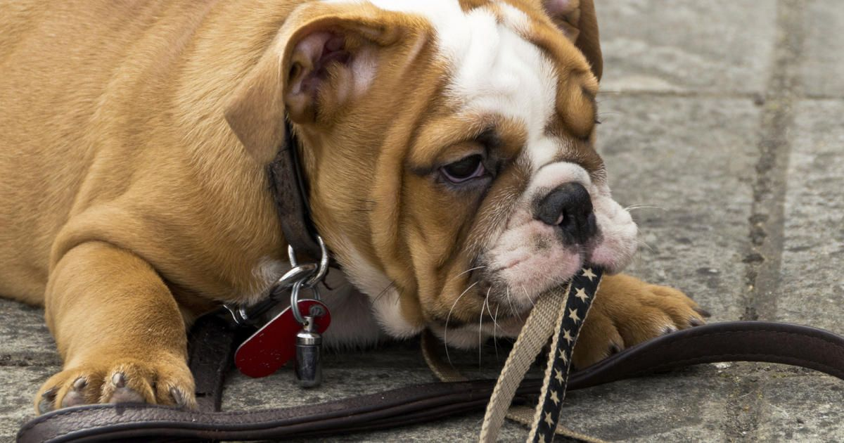 23+ What Health Problems Do Bulldogs Have in 2020