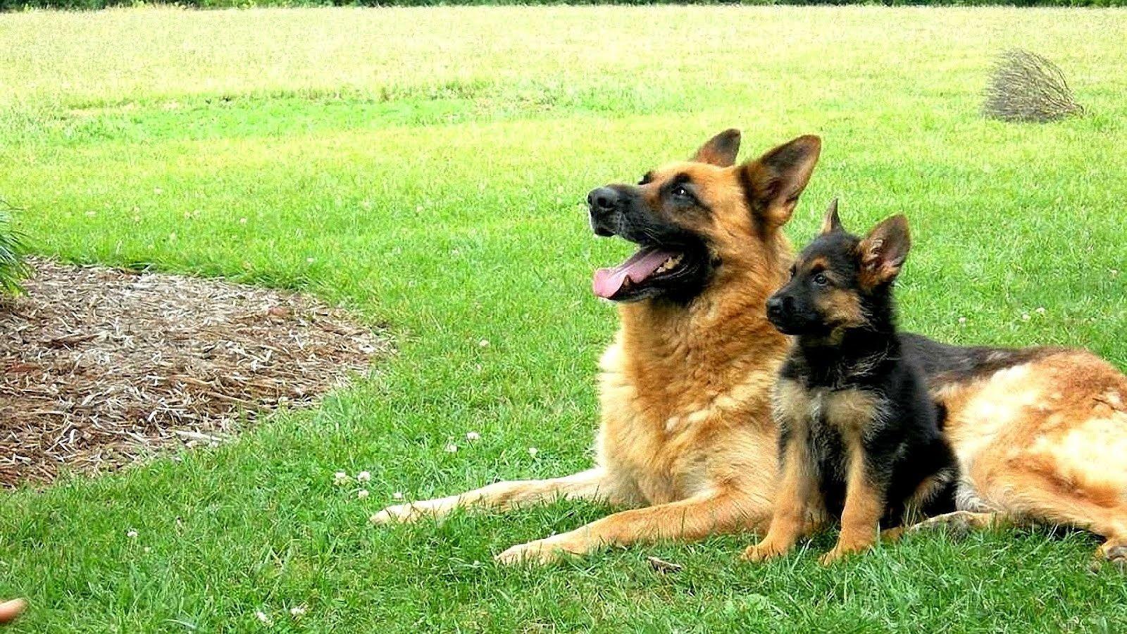 German Choices German Shepherd Breeder Wisconsin in 2020