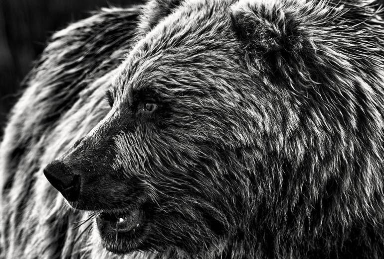 Photo of Original Animal Photography by Ejaz Khan | Fine Art Art on Other | PROXIMITY: Bear Photo by Ejaz Khan – Limited Edition of 10
