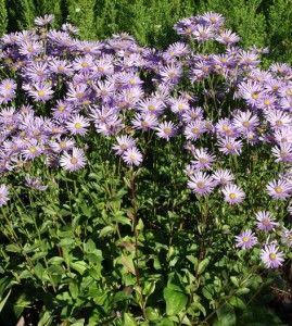 ElokuunasteriKorkeus: 50 cm. Kasvutapa: Pystyt versomättäät. Laji leviää hillitysti. Kukinta: Elo–syyskuu. Tuoksuttomat kukat ovat sinivioletit, joillakin lajikkeilla vaaleanroosat. Kasvupaikka: Aurinko, kuiva–tuore, keskiravinteinen, läpäisevä. Taimiväli: 30 cm.