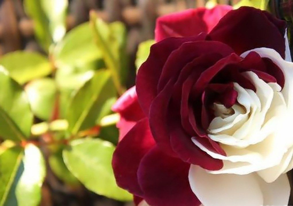 ورد ملون جميل Imagx Beautiful Flowers Pretty Flowers Amazing Flowers