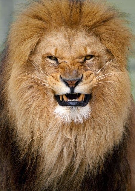 ♕ M Angry Lion