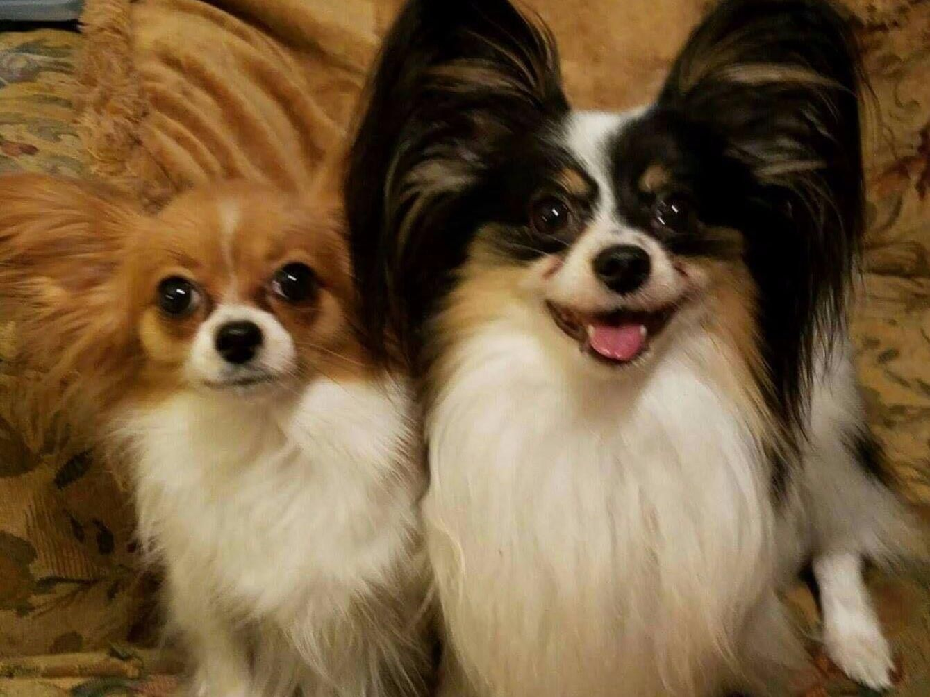 Kayleigh Malone Fairytail Papillons Puppies For Sale Puppies