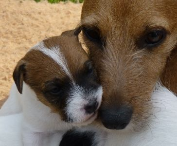 You Re So Smootchy Jack Russell Dogs Jack Russell Jack Russell Terrier