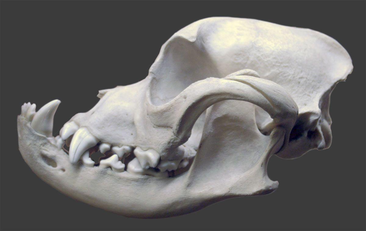 Bulldog Skull Dog Skull Skull Sketch Skull