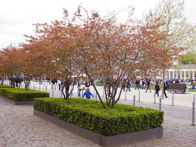 amelanchier lamarckii google zoeken bomen pinterest. Black Bedroom Furniture Sets. Home Design Ideas