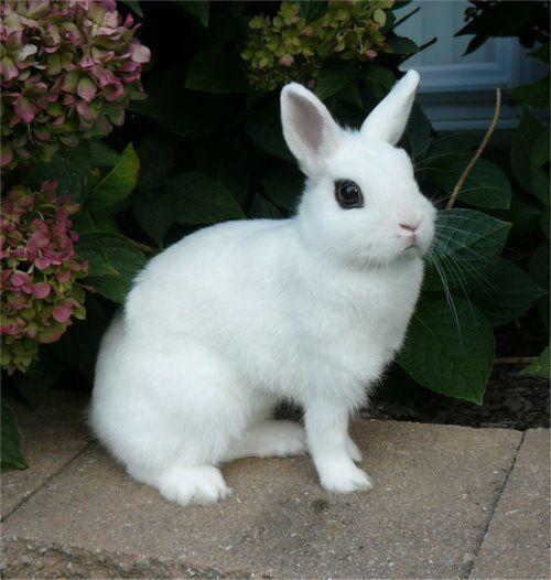 16 Dwarf Hotot Rabbits In Bangor Maine Dwarf Rabbit Rabbit Breeds Cute Animals