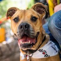 Boxer Puppies For Sale Austin Area